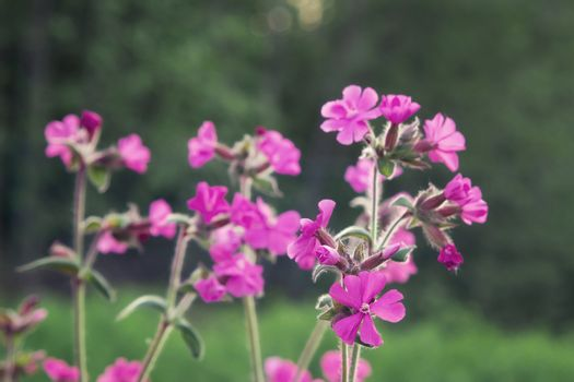 Flowers of a perennial plant Silene dioica known as Red campion