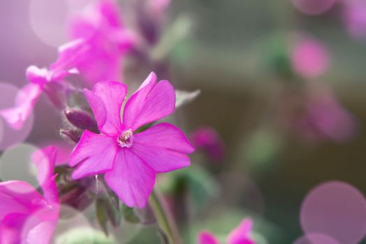 Close up image of Flowers of a perennial plant Silene dioica kno