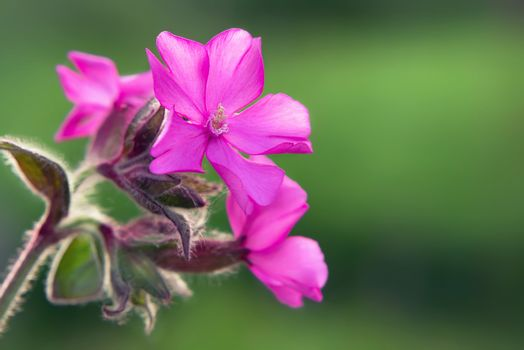 Close up image of Flowers of a perennial plant Silene dioica known as Red campion or Red catchfly on a forest edge in the summer