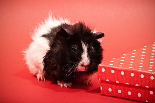 Close up shot of a tiny cute guinea pig next to a red gift box with white polka dots on red background.