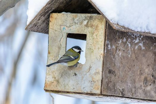 Tit sits on the edge of the feeder in cold winter