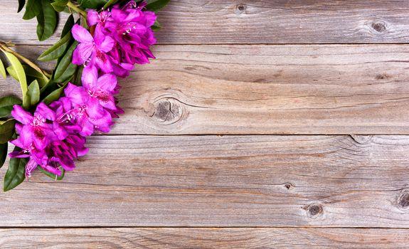 Seasonal wild rhododendron flowers on rustic wooden boards
