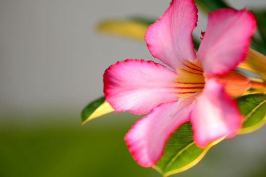 Floral background. Close up of Tropical flower Pink Adenium. Desert rose on Green background.