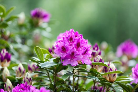 Blooming Rhododendron flowers with bokeh green background