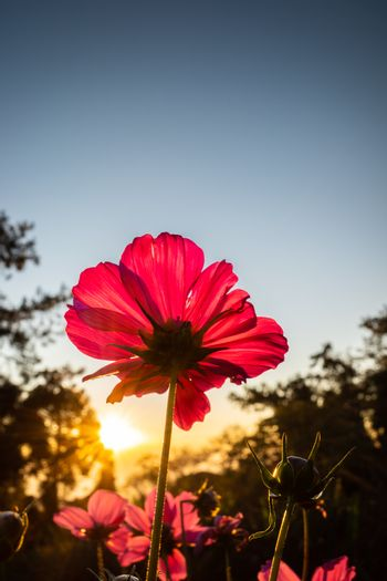 Red cosmos flower blooming in morning touching sunlight with clear blue sky at sunrise.