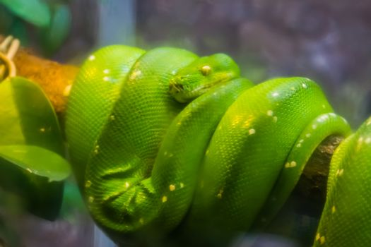 closeup of a green tree python, popular tropical serpent specie from Asia and Australia
