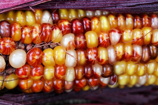 Close up of seasonal Indian summer corn with stalk for Thanksgiv