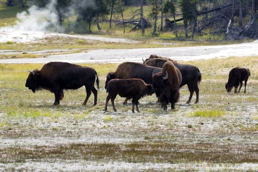 North American female buffalo and her offspring showing affecti