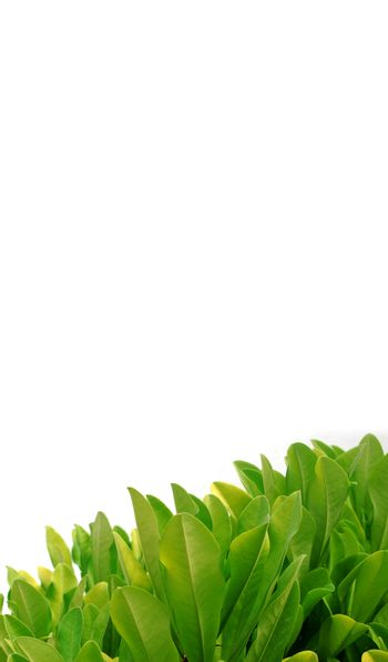 The background of the lush green leaf top.