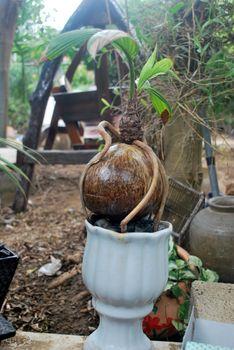 Use coconut to make bonsai.Coconut balls modified into ornamental plants.