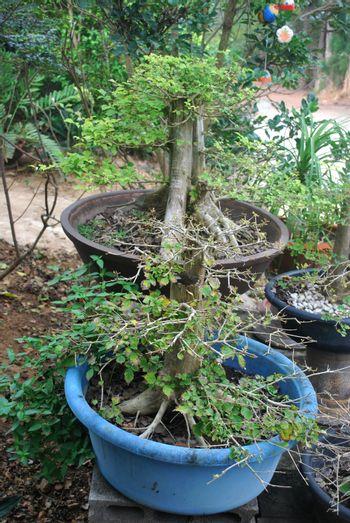 Modification of large trees into ornamental plants.