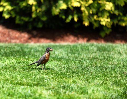 Parent robin bird gathering worms for feeding her offspring