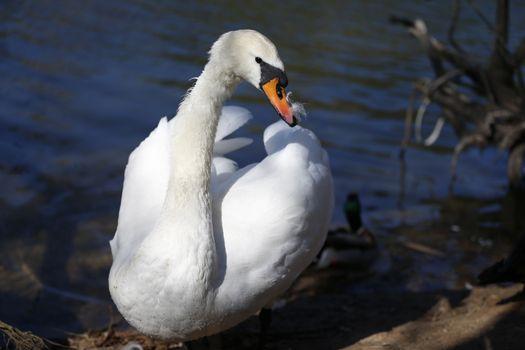 White Swan.Wild waterfowl on the lake