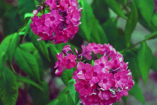 Pink Hydrangea Flower. Hydrangea macrophylla in the garden.