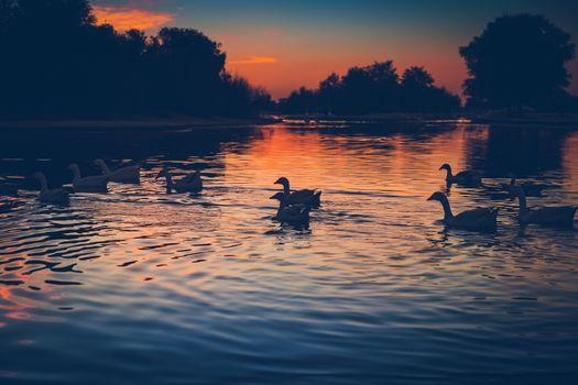 Beautiful swans on the lake