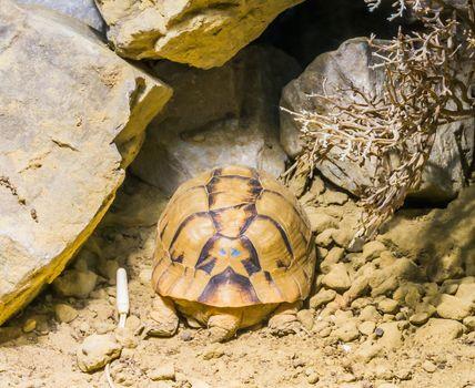 rare endangered egyptian tortoise turtle sleeping in the sand under some rocks