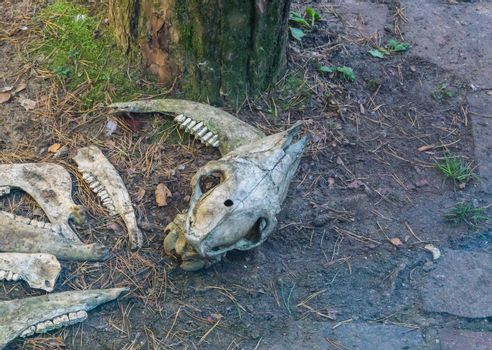 animal sheep skull and jaw remains laying in the forest scary decorations