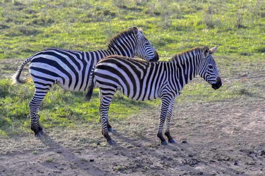 Zebras in the Masai Mara, Kenya.