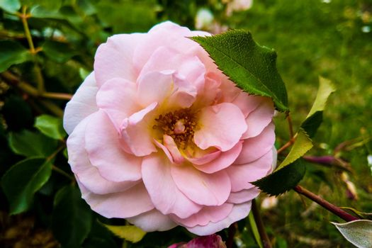 Blooming Pink roses and buds on a bush in the garden