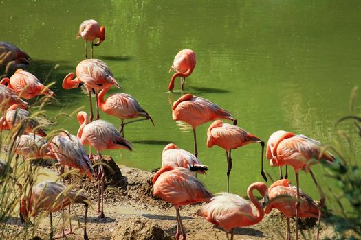 Group of flamingos standing in the water in the  on Lake