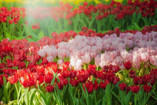 Beautiful tulips in the blooming scene, blooming flower festival in Chiang Rai, Thailand