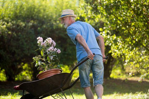 Man pushing a wheelbarrow in the garden