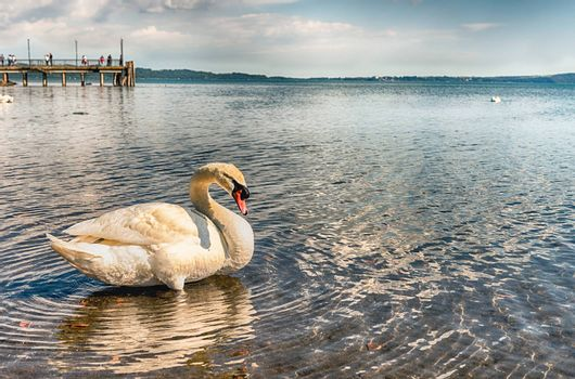 Beautiful white swan with a scenic afternoon golden light on the lake Bracciano, near Rome, Italy