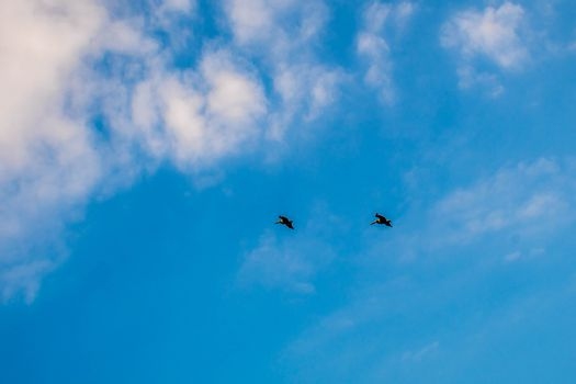 Brown Pelicans flying along the coastline of South Padre Island, Texas