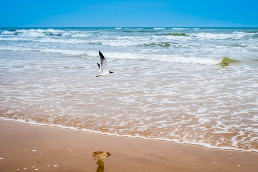 A Laughing Gull in South Padre Island, Texas