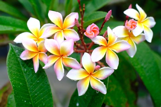 Plumeria flowers Fresh pink flowers after the rain with drops of water. Beautiful frangipani perfume flower with water rain drop on petal.