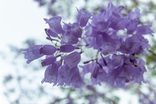 Delicate flower clusters of the Jacaranda tree