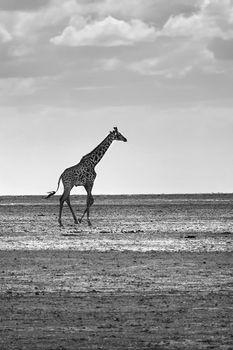 African giraffe in the wild