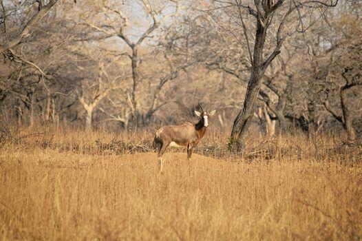 Blesbuck standing on the dry savannah