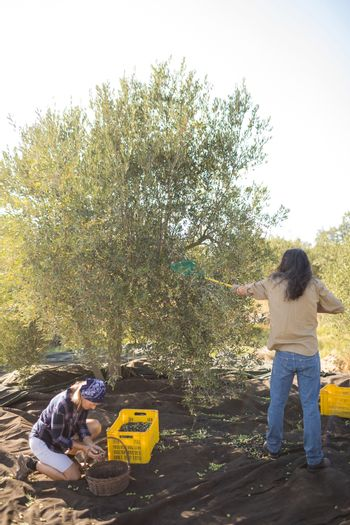 Couple harvesting olive with rack