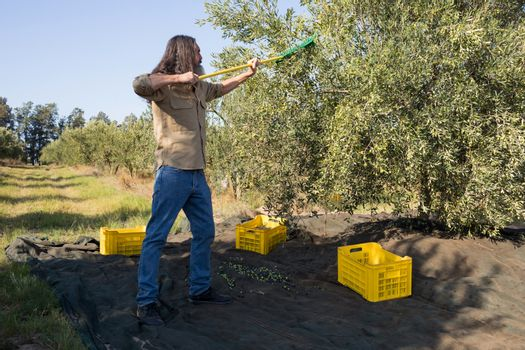 Farmer harvesting olive with rack