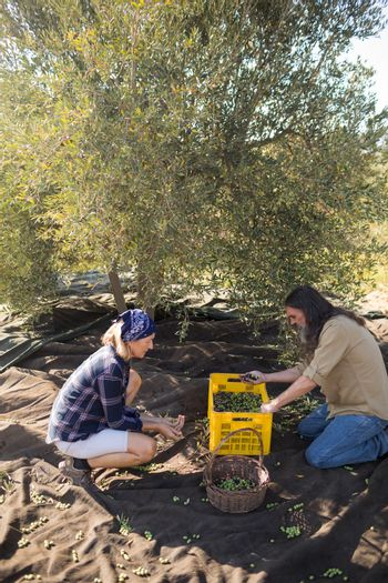 Couple checking olives after harvesting