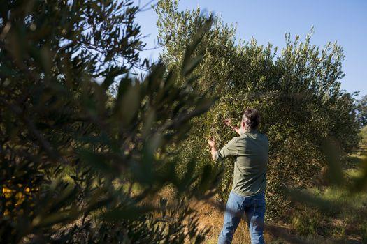 Man harvesting olives from tree