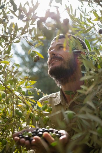 Farmer harvesting a olive from tree
