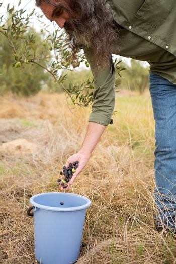 Man gathering harvested olives in container