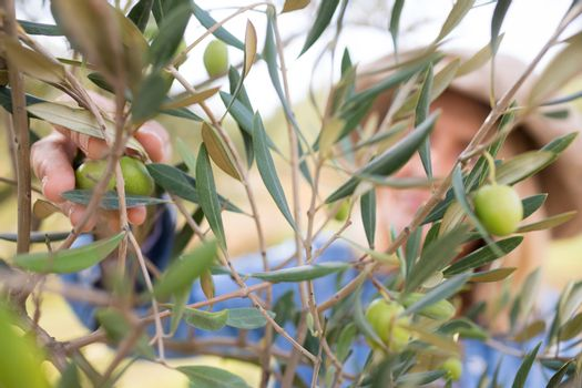 Close-up of woman harvesting olives