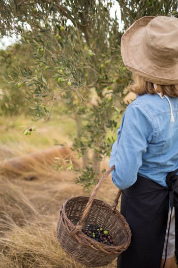 Woman harvesting olives from tree