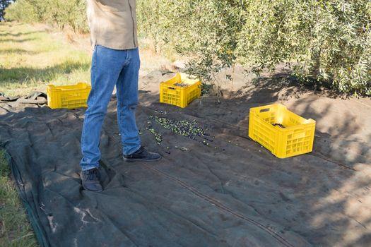 Farmer harvesting olive