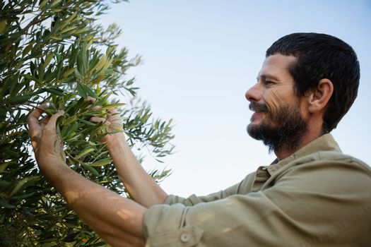 Farmer harvesting a olives from tree