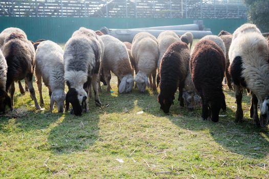 Flock of Domestic Sheep, Ewe, Lamb, Ram (Ovis aries species genus) grazing in a sheep farm in Summer Sunset. Typically livestock ruminant mammals. Artiodactyla family. Dairy cattle Background theme.