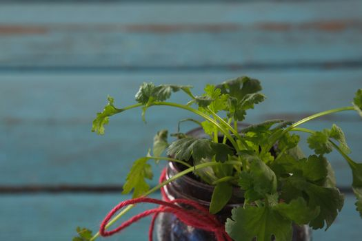 Coriander plant in jar