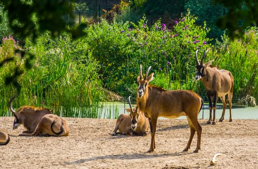 roan antelope herd together, tropical animal specie from the savanna of africa