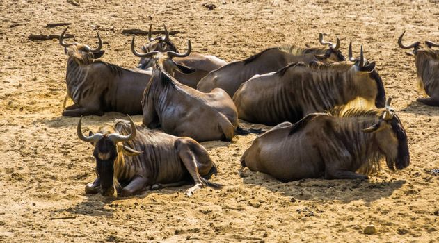 big herd of eastern white bearded wildebeest sitting together in the sand, tropical antelope specie from Africa