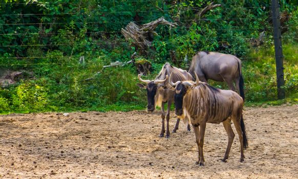 eastern white bearded wildebeest couple together, tropical antelope specie from Africa