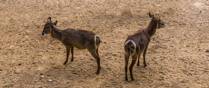 ellipsen waterbuck couple together, tropical antelope specie from Africa