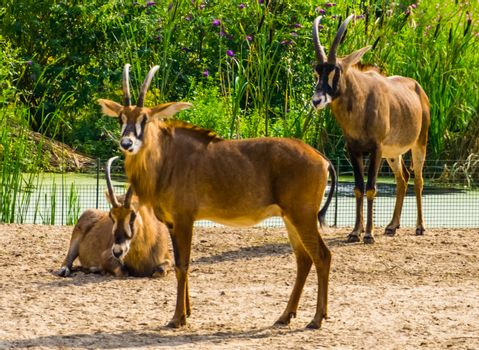 closeup of a roan antelope herd, tropical animal specie from the savanna of Africa